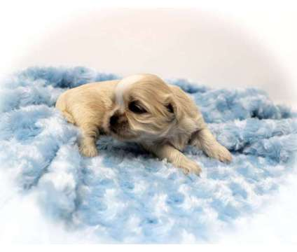 9 Gorgeous AKC Shih Tzu Puppies is a Shih-Tzu Puppy For Sale in Mill Hall PA