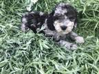 There My Name Is Marble And I Am A Female Poodle I Was Born April Seventh 2018 I Am A Fun