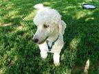 Cassie Standard Poodle Adult Female