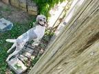 Cherie Standard Poodle Adult Female
