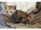 Calamity 28730 Domestic Shorthair Kitten Female