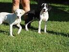 Laken Hound (Unknown Type) Pup
