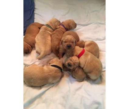 Golden Retriever Puppies for Sale is a Male Golden Retriever Puppy For Sale in Denver CO