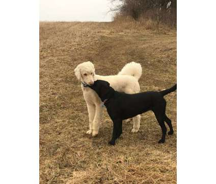 Beautiful Labradoodle Puppies is a Labradoodle Puppy For Sale in Plymouth WI
