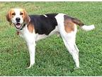 Slim Treeing Walker Coonhound Young Male