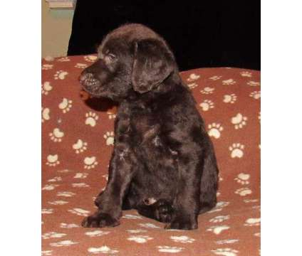 standard chocolate café male labradoodle is a Male Labradoodle Puppy For Sale in Burlington NC