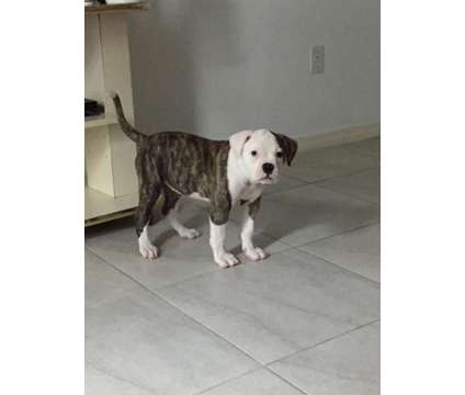 Top Quality Pure Bred NKC Reg American Bulldogs is a Female American Bulldog Puppy For Sale in Ocala FL