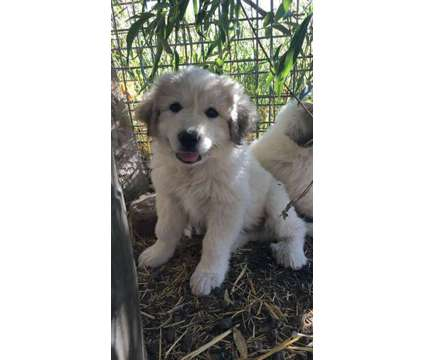 Great Pyrenees Puppy is a Male Great Pyrenees Puppy For Sale in Walla Walla WA
