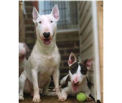 Winckler's Hand Raised Pups is a Male Bull Terrier Puppy For Sale in Queens NY