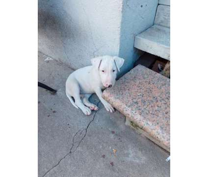 Winck Hand Raised Pups is a Female Bull Terrier Puppy For Sale in Queens NY