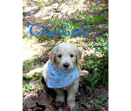 F1 Standard Goldendoodles is a Goldendoodle Puppy For Sale in North Wilkesboro NC