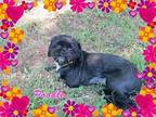 Poodle Shih Tzu Adult Female