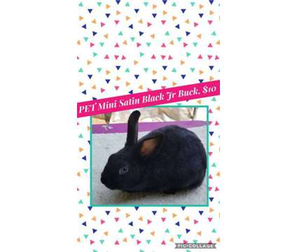 Pedigreed Mini Rex and Mini Satin Bunny Rabbits, Show, 4-h, Pet, Breeding is a For Sale in South Bend IN
