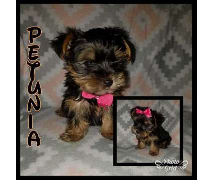 Teacup yorkies is a Female Yorkshire Terrier Puppy For Sale in Philadelphia PA