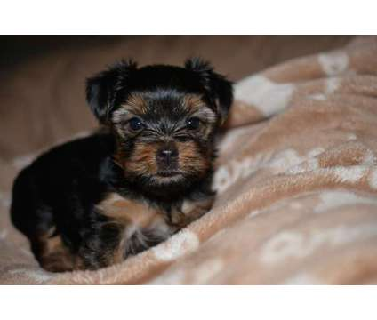 Yorkshire Terrier Female Puppy is a Female Yorkshire Terrier Puppy For Sale in North Port FL
