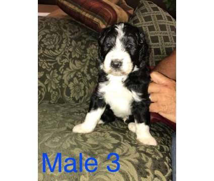 F1 Aussiedoodle Puppies is a Male Aussiedoodle Puppy For Sale in Elkin NC