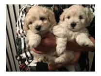Super Cute Maltipoo Puppies to Good Homes! Eight weeks old