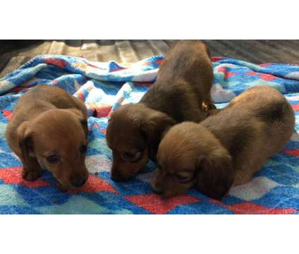 Mini Dachshunds is a Male Dachshund Puppy For Sale in Branch MI