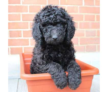 Standard Poodle puppies is a Female Standard Poodle Puppy For Sale in Dubuque IA