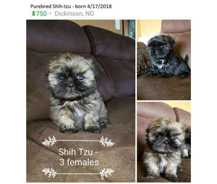 Shih Tzu puppies is a Female Shih-Tzu Puppy For Sale in Dickinson ND