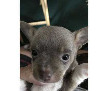 Chihuahua is a Female Chihuahua Puppy For Sale in Williamsburg OH
