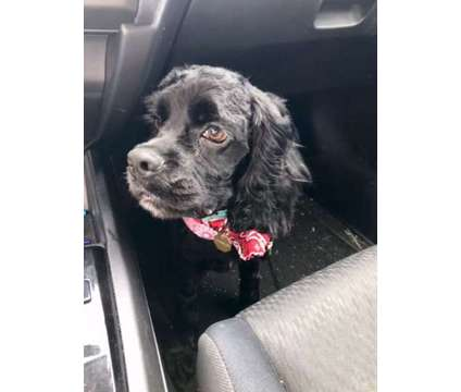 Cocker Spaniel is a Male Cocker Spaniel Puppy For Sale in Chillicothe OH