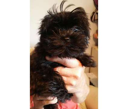 Shih-Tzu + Yorkie= Shorkie Pups is a Female Shorkie Tzu Puppy For Sale in Orland Park IL