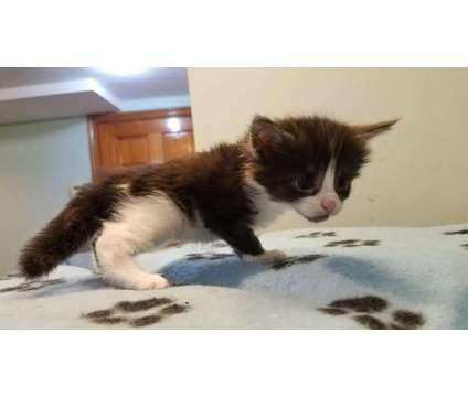 maine coon kittens are looking for new home is a Maine Coon Kitten Wanted in Brooklyn NY