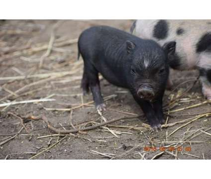We have miniature pigs and purebred Juliana's available is a Female Baby For Sale in Greene RI