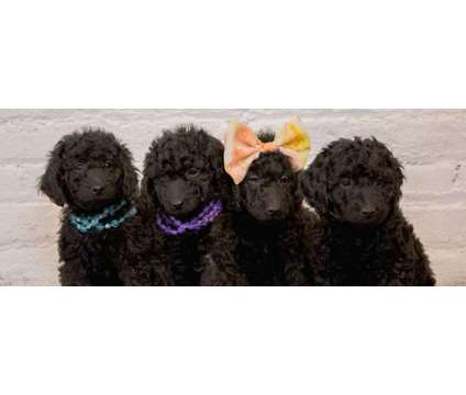 Akc Poodles is a Male Standard Poodle Puppy For Sale in Dubuque IA