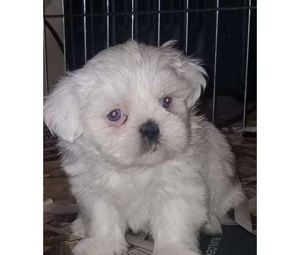 Shih Tzu Puppies is a Female Shih-Tzu Puppy For Sale in Rochester NY