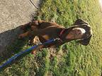 Ozzy Doberman Pinscher Young Male