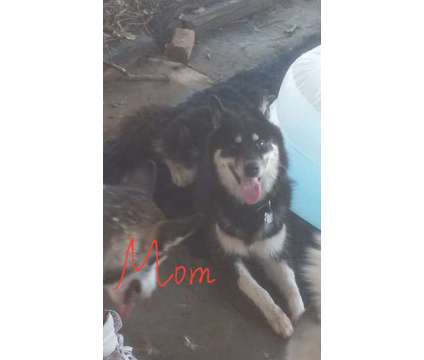 Siberian Huskies puppies for sale is a Female Siberian Husky Puppy For Sale in Macon GA
