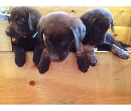 AKC Lab puppies is a Male Labrador Retriever Puppy For Sale in Pittsfield NH