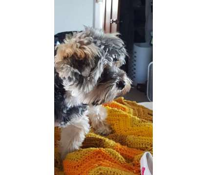 Beautiful Male Yorkie looking for girl friends is a Male Yorkshire Terrier Wanted in Mount Vernon WA