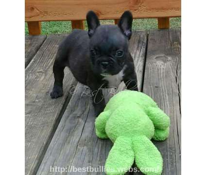 French Bulldog Puppy is a Female French Bulldog Puppy For Sale in Deatsville AL
