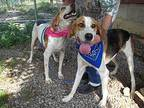 Beau (aka Smiley) Treeing Walker Coonhound Young Male