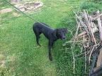 Blair Labrador Retriever Young Female