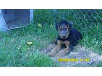 Airedale Pup