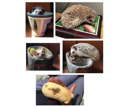 Baby Hedgehogs is a Baby For Sale in Boston MA