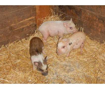 Mini Pig Piglets is a For Sale in Abilene KS