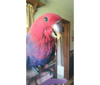 Female Baby Vos Eclectus is a Female Eclectus Baby in Smiths Creek MI
