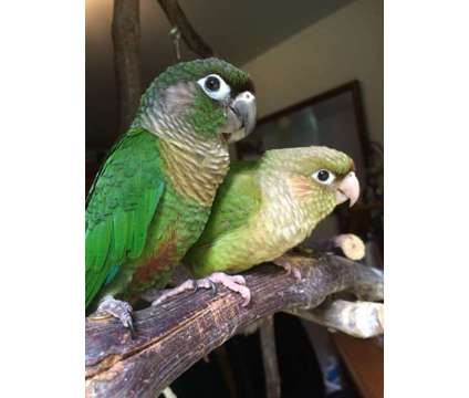Greencheek Conures is a Conure Baby For Sale in Greenfield Center NY