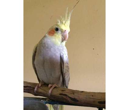 Cockatiels is a Cockatiel Baby For Sale in Greenfield Center NY