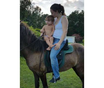Smooth Gaited Icelandic Mare - VIDEO is a Female Icelandic in Columbia SC