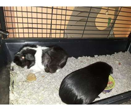 Guinea pigs and supplies is a Female in Hampton VA