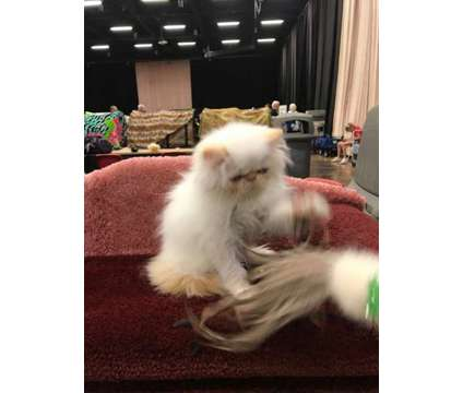 Himalayan Persian Kitten for sale is a Male Himalayan Kitten For Sale in Grand Prairie TX