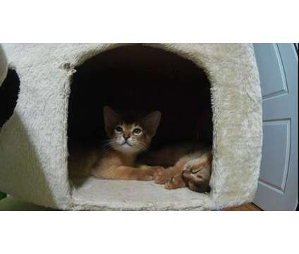 Abyssinian kittens cats is a Abyssinian Kitten For Sale in New York NY