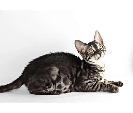 Bengal Kittens is a Male Bengal Kitten For Sale in Hurricane WV