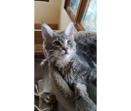 registered maine coon kittens - ready to go is a Maine Coon Kitten in Brooklyn NY